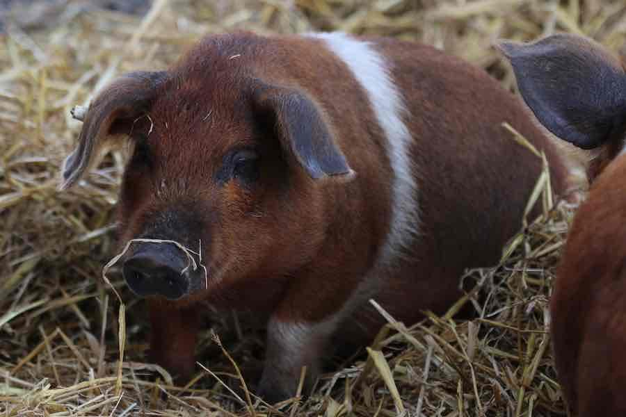 Husumer Sattelschwein Braten aus der Keule